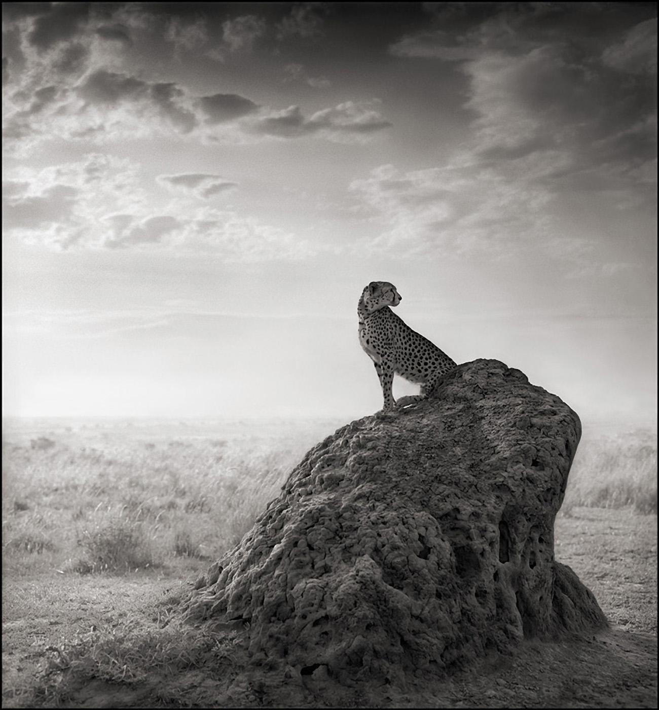 Cheetah on Termite Mound, Maasai Mara, 2008