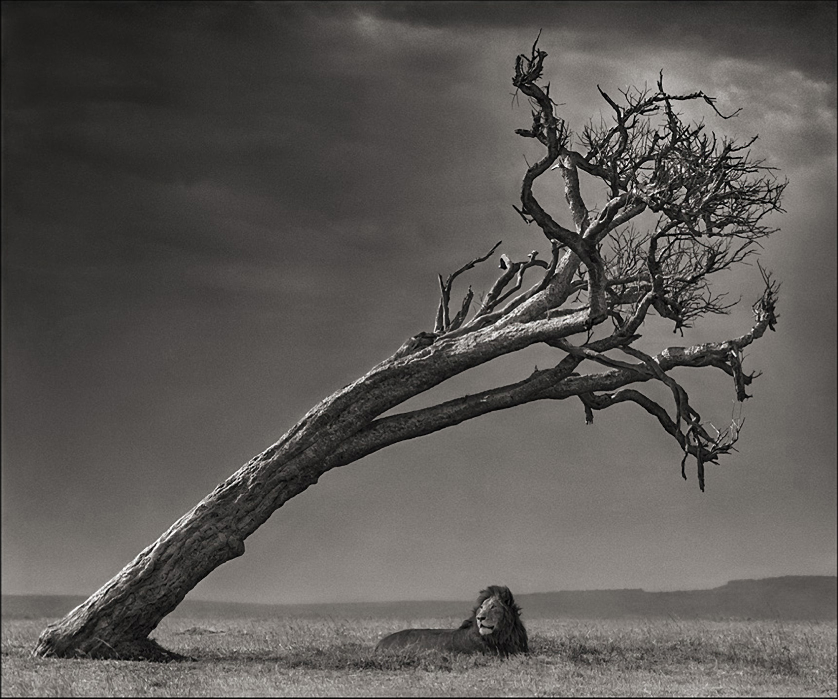 Lion Under Leaning Tree, Maasai Mara, 2008