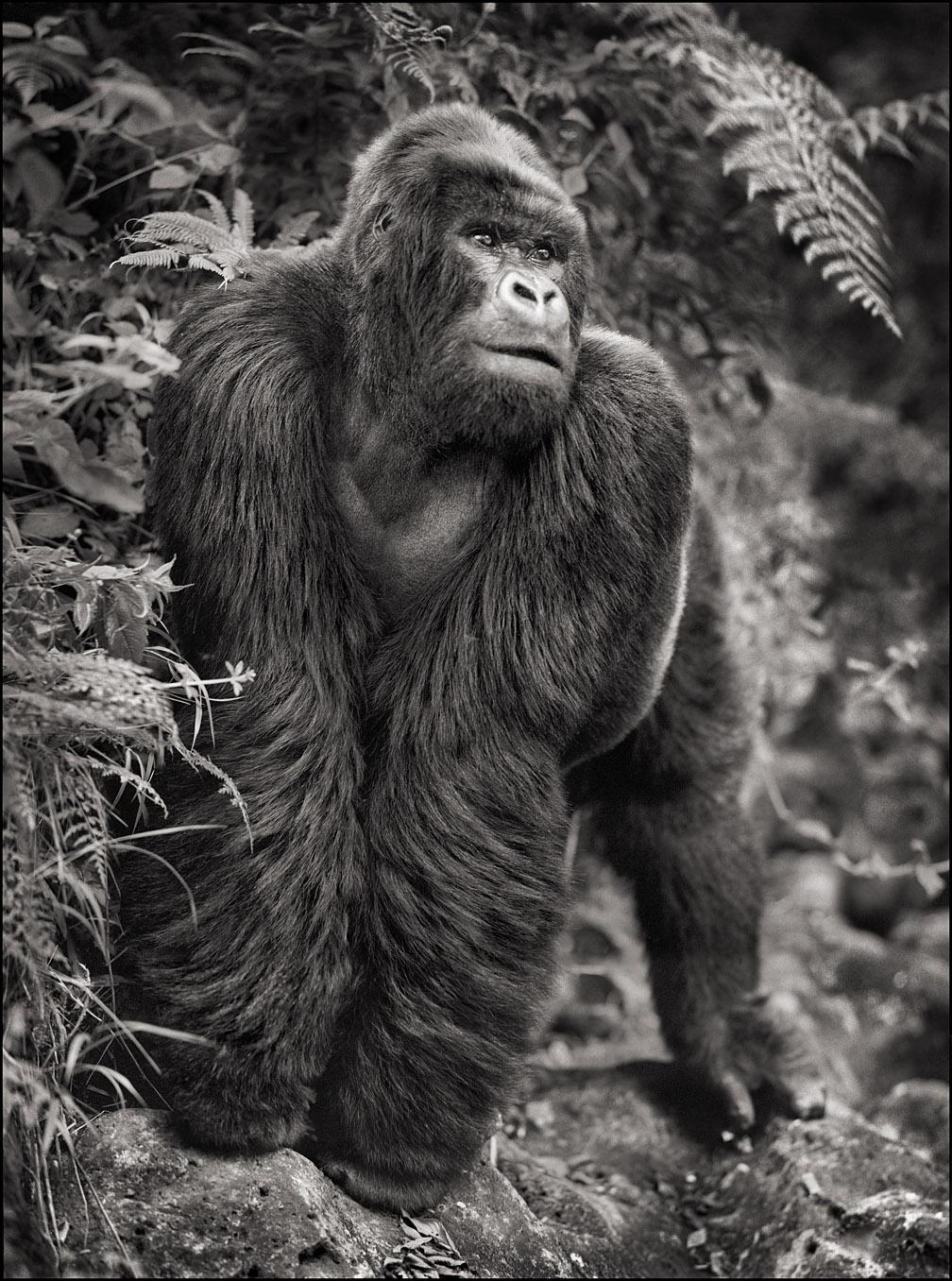 Gorilla on Rock, Parc des Volcans, 2008
