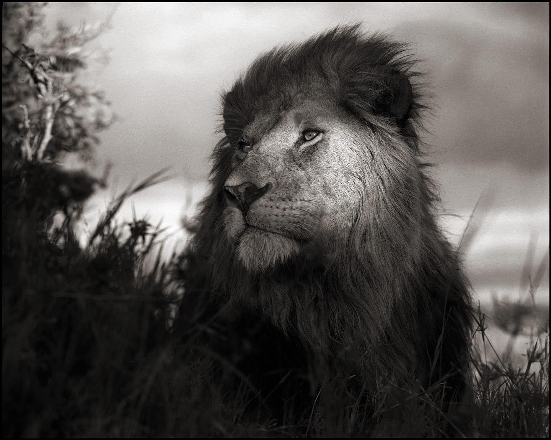 Lion in Shaft of Light, Maasai Mara, 2012