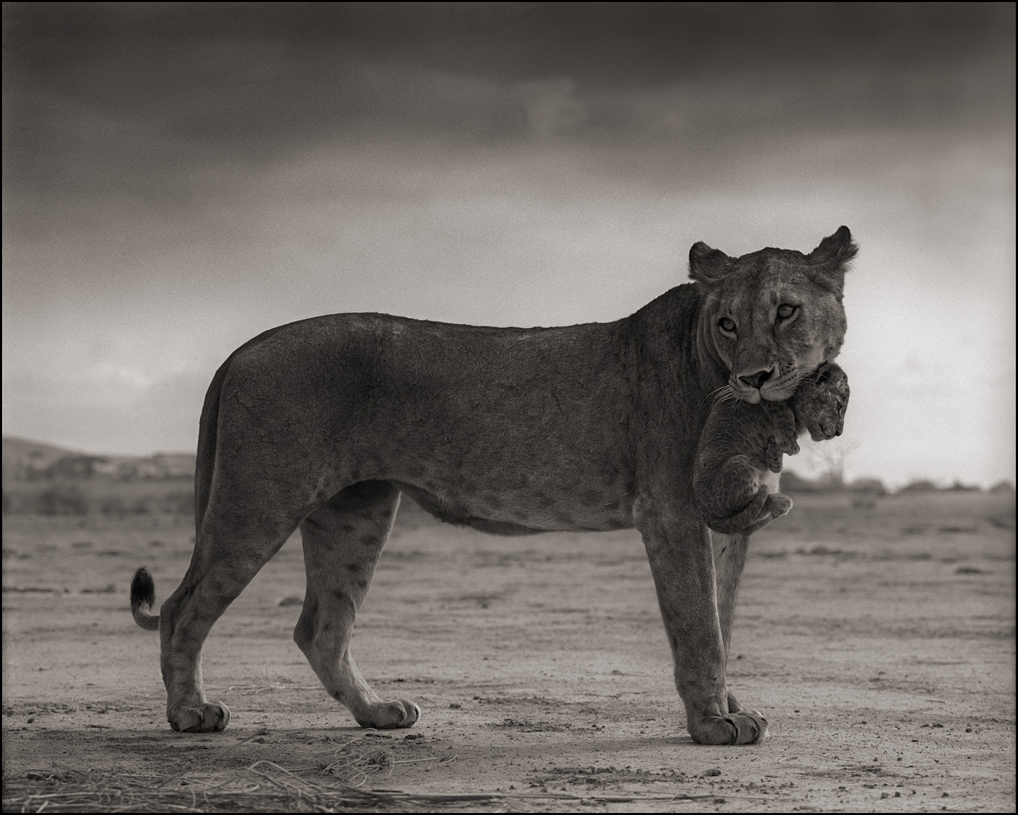 Lioness Holding Cub in Mouth, Amboseli, 2012