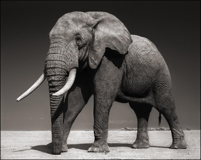 Elephant with Half Ear, Amboseli, 2010