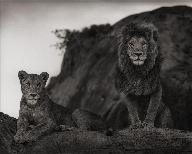 Lion Couple, Serengeti, 2010