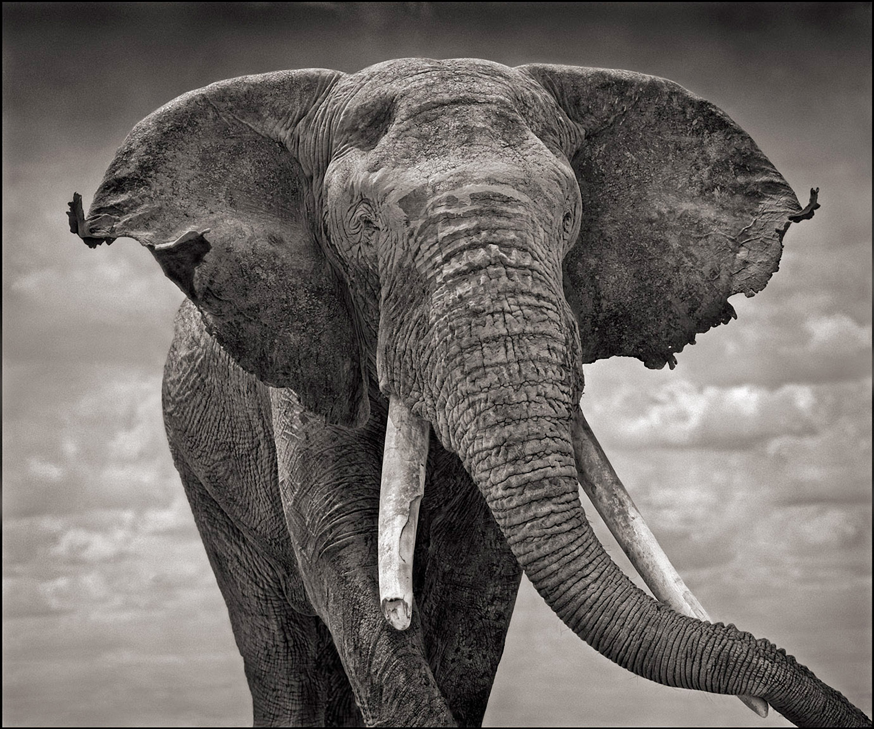 Elephant With Tattered Ears, Amboselli, 2008