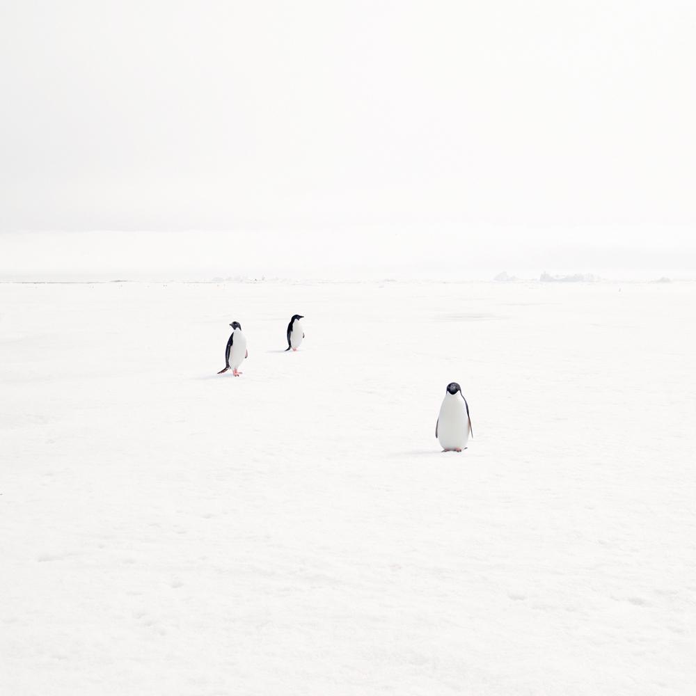 Adeli Penguins on Ice, 2007