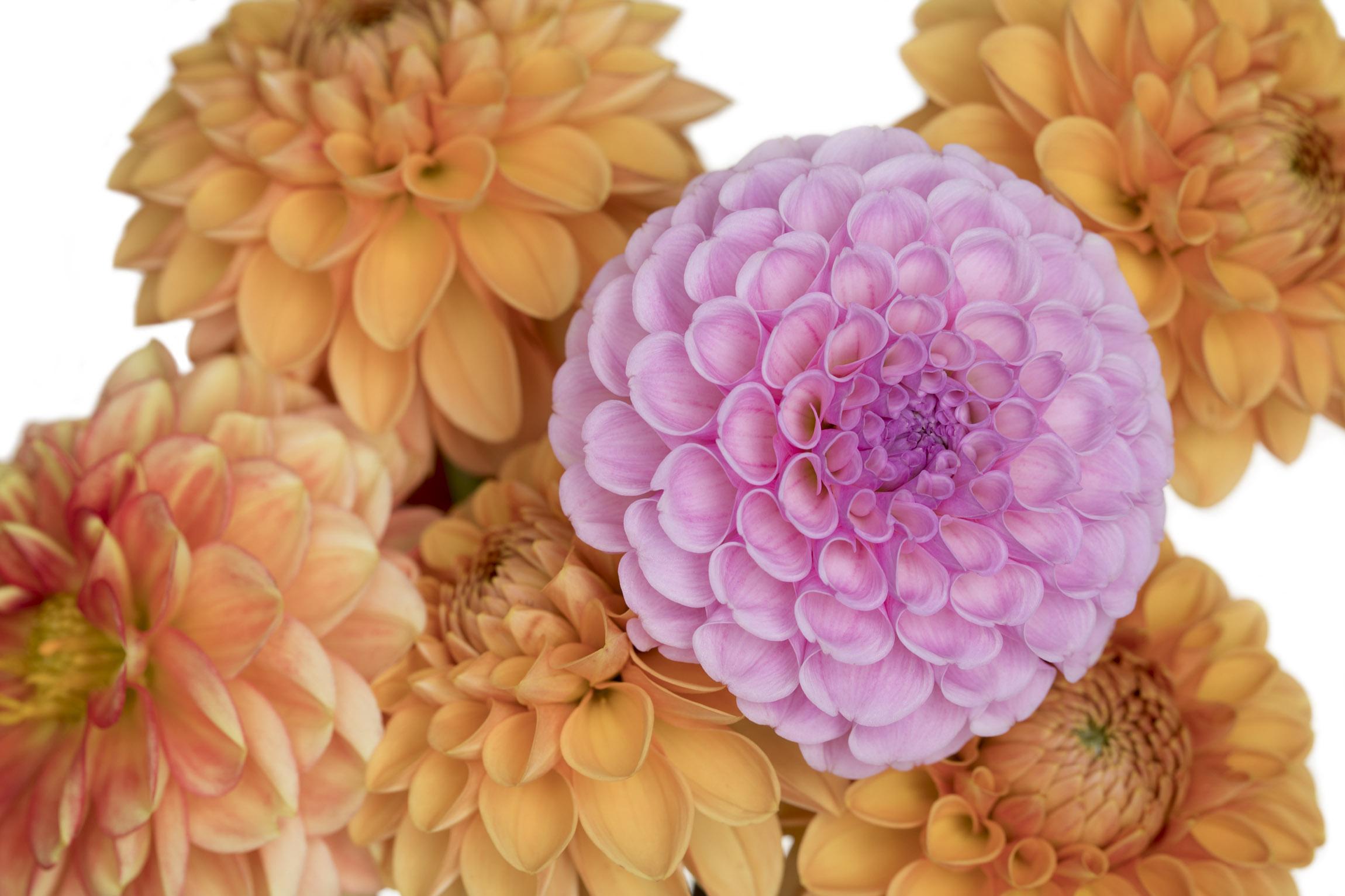 Orange and Purple Dahlias