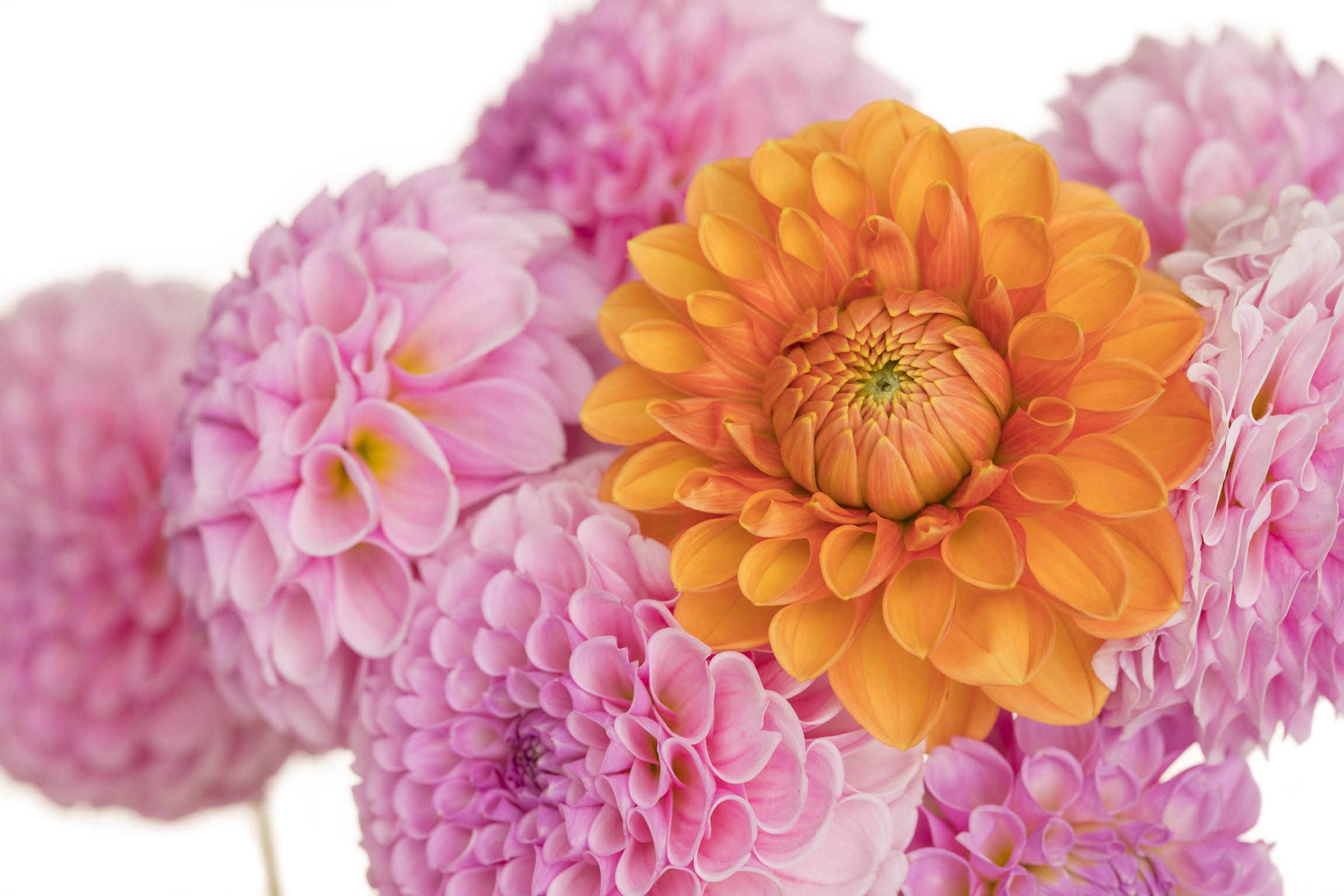 Orange and Pink Dahlias