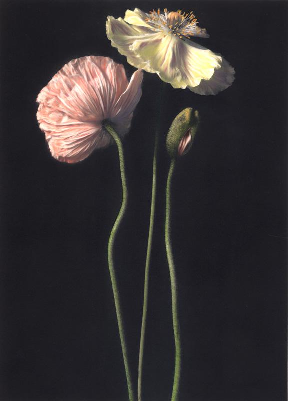 Three Poppies