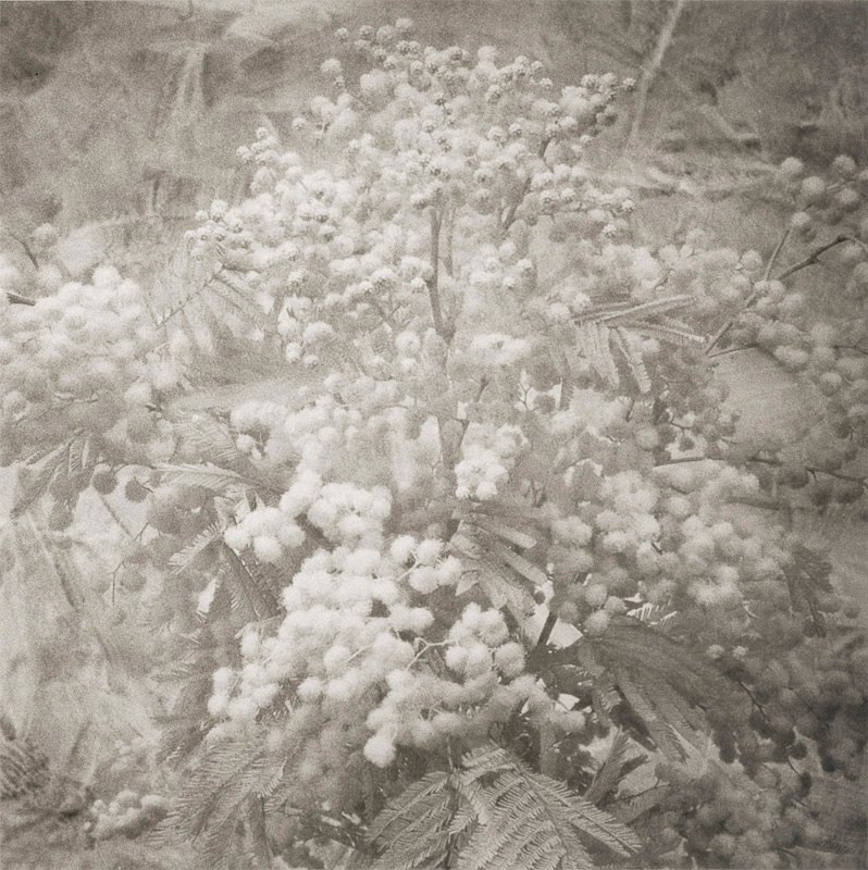 Florentine Mimosa
