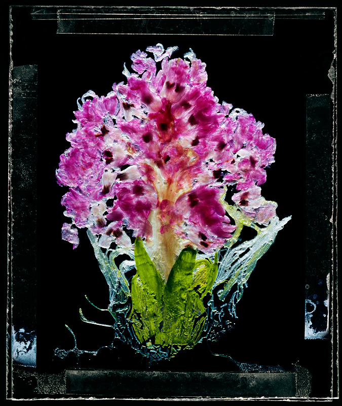 Hyacinth Orientalis 'Eros'