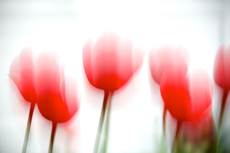 Tulips Red 2