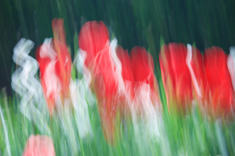 Tulips Red I