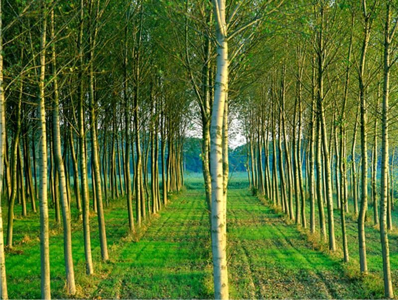 Row Trees