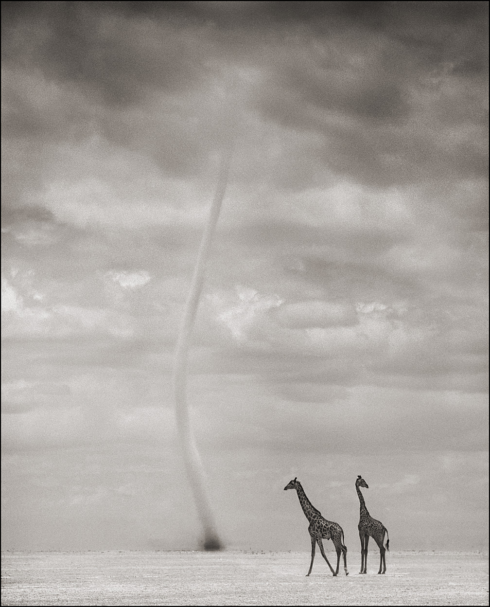 Giraffes with Dust Devil