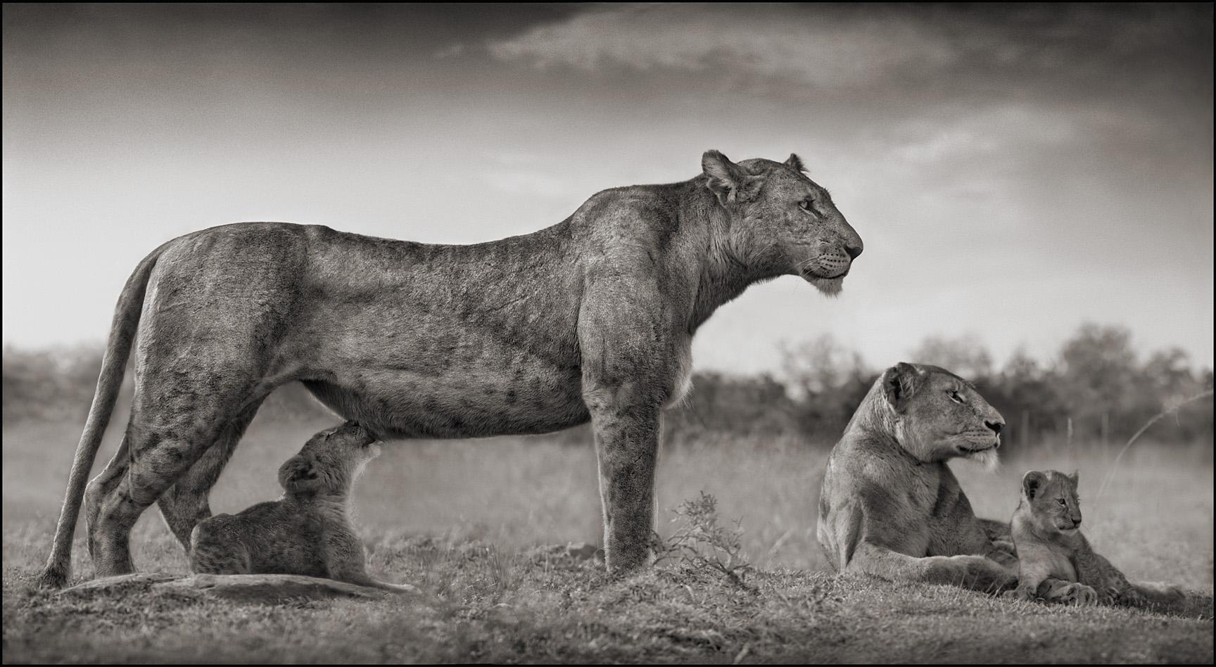 Lioness Feeding Cubs