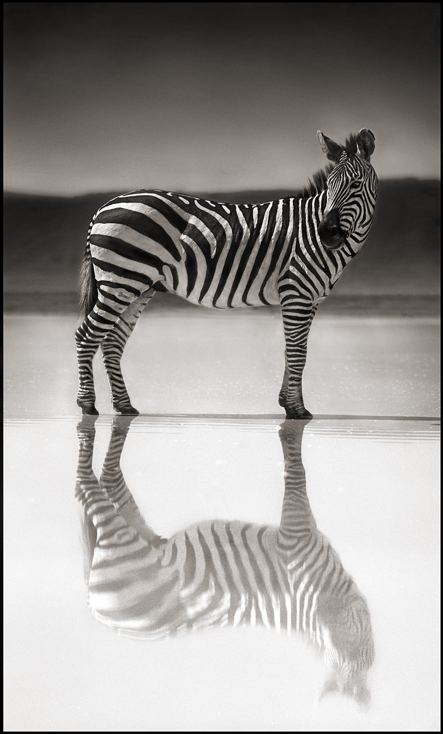 Zebra on Lake