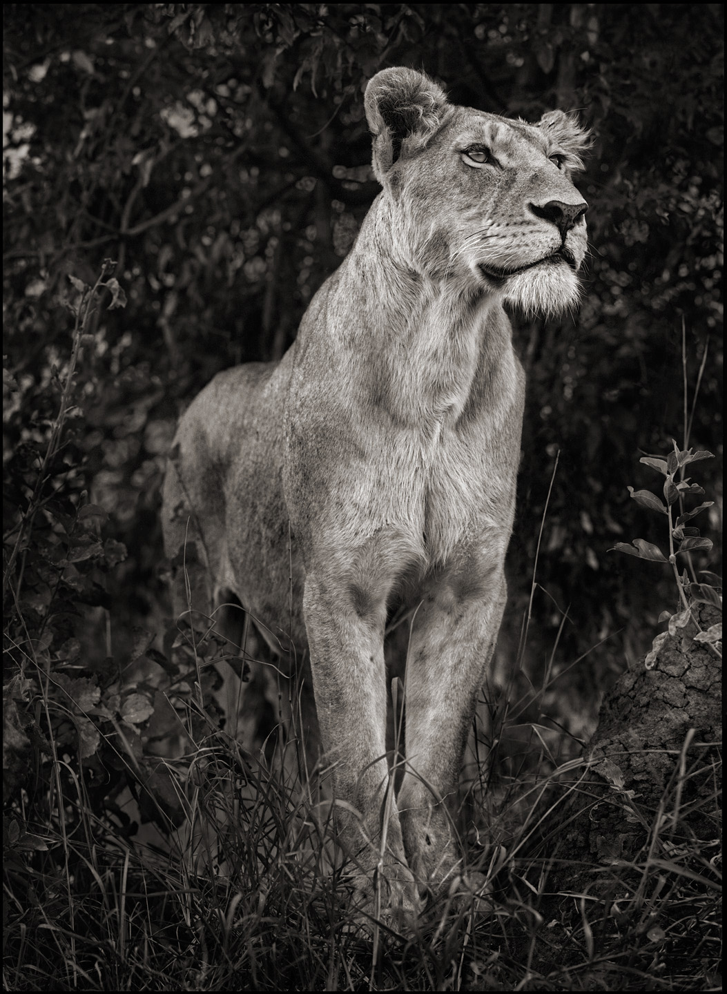 Lioness Against Dark Foliage