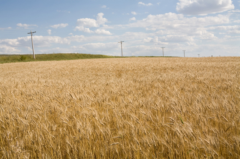Barley Field (16), August 2007