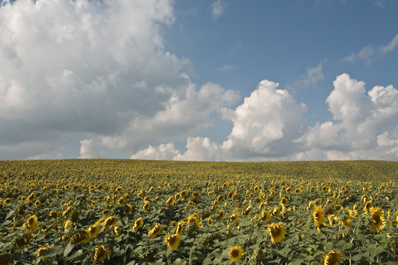Sunflowers (1), September 2007