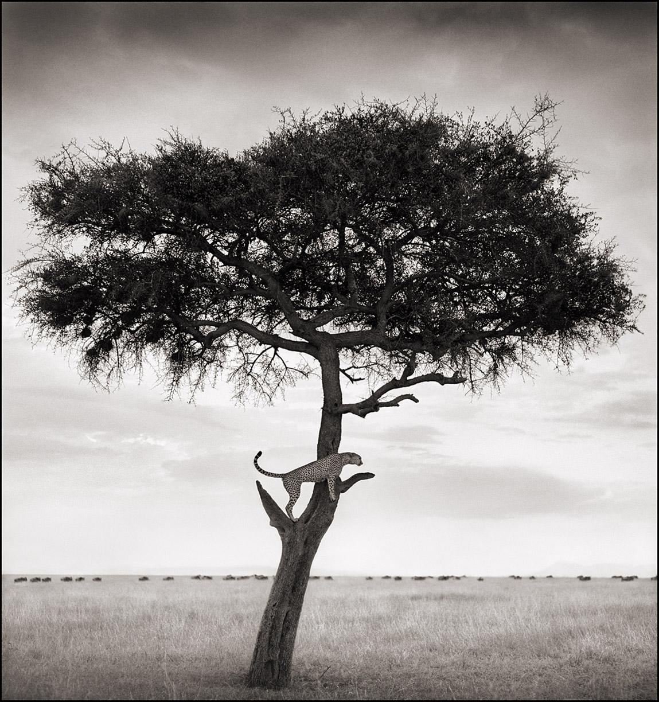 Cheetah In Tree.jpg
