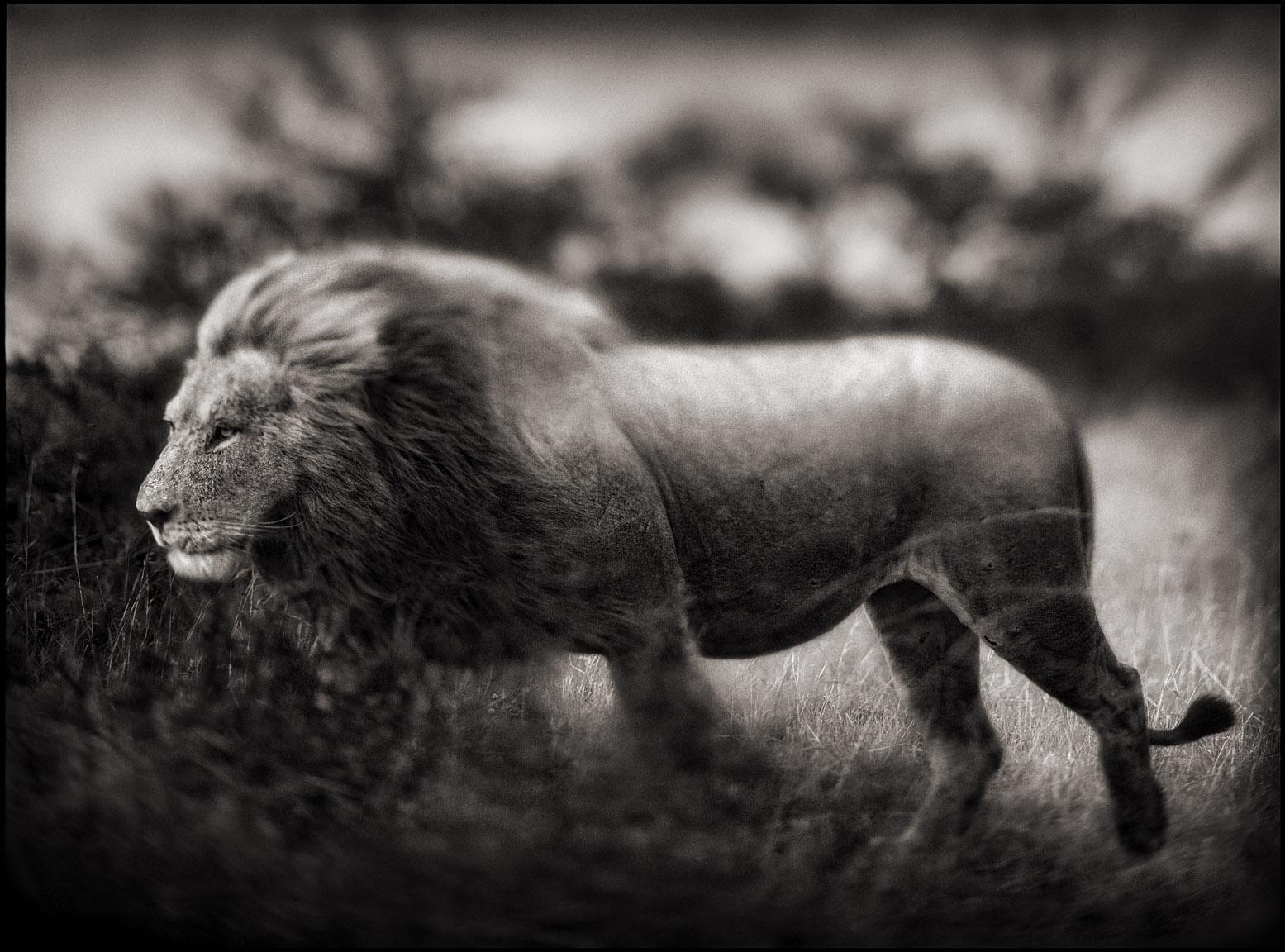 Windswept Lion.jpg