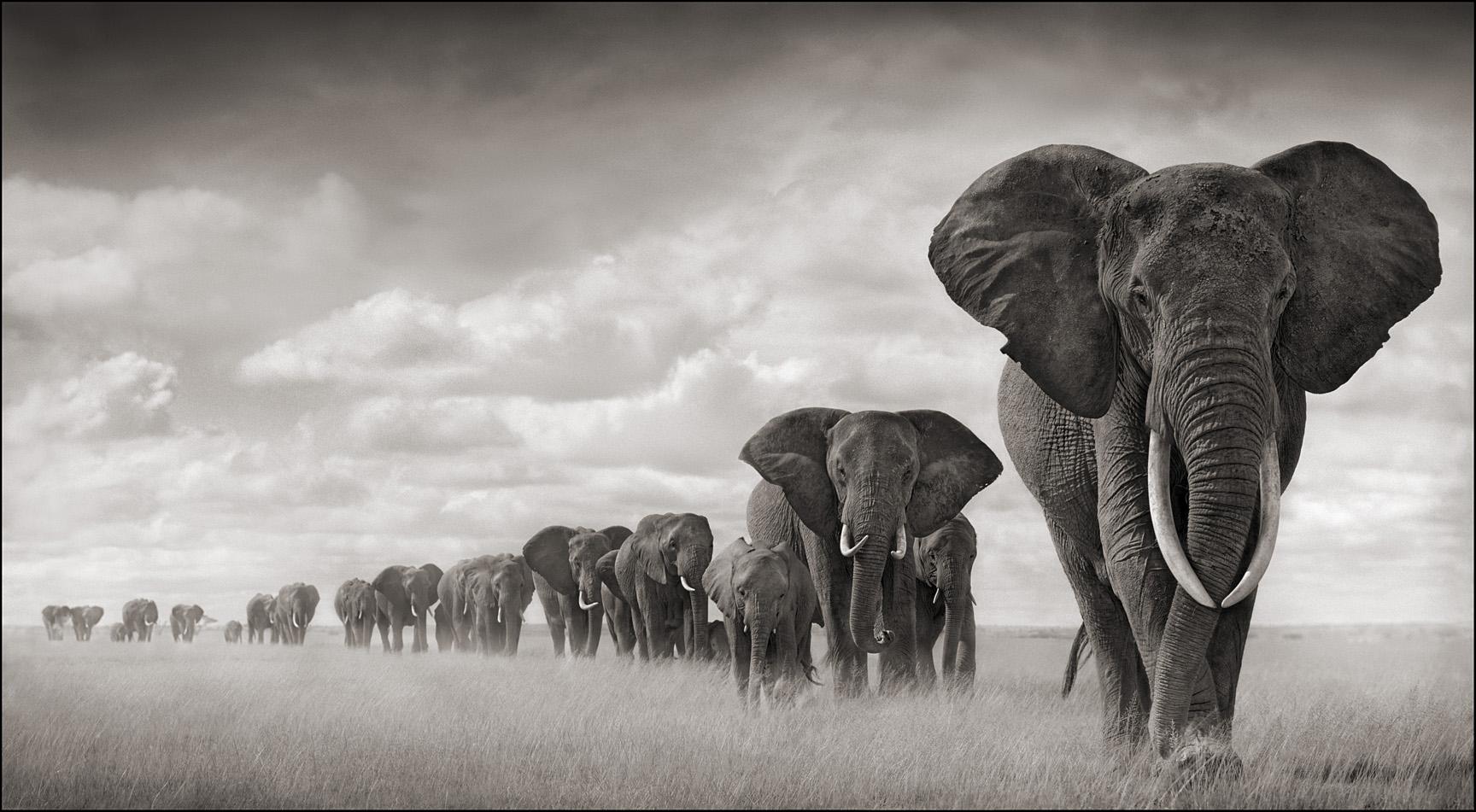 Elephants Walking Through Grass.jpg