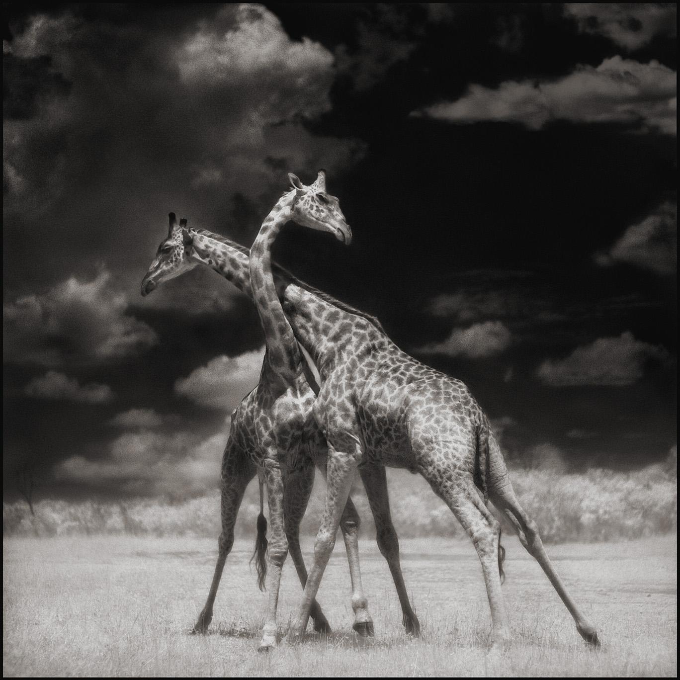 Giraffes Battling In Sun.jpg