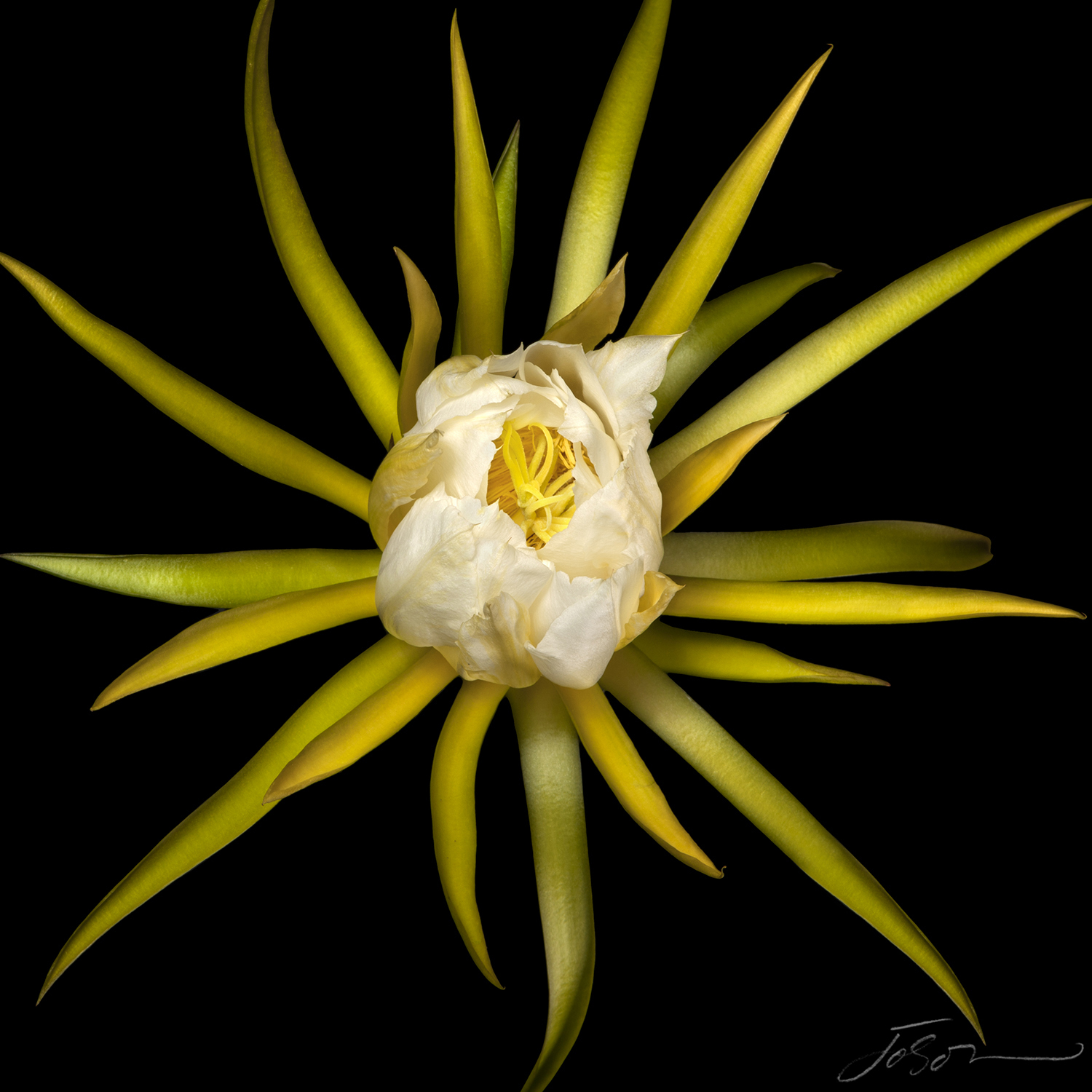 Dragon fruit flower (Hylocereus undatus).jpg