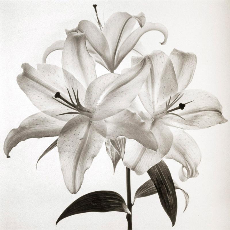 Three Lilies.jpg