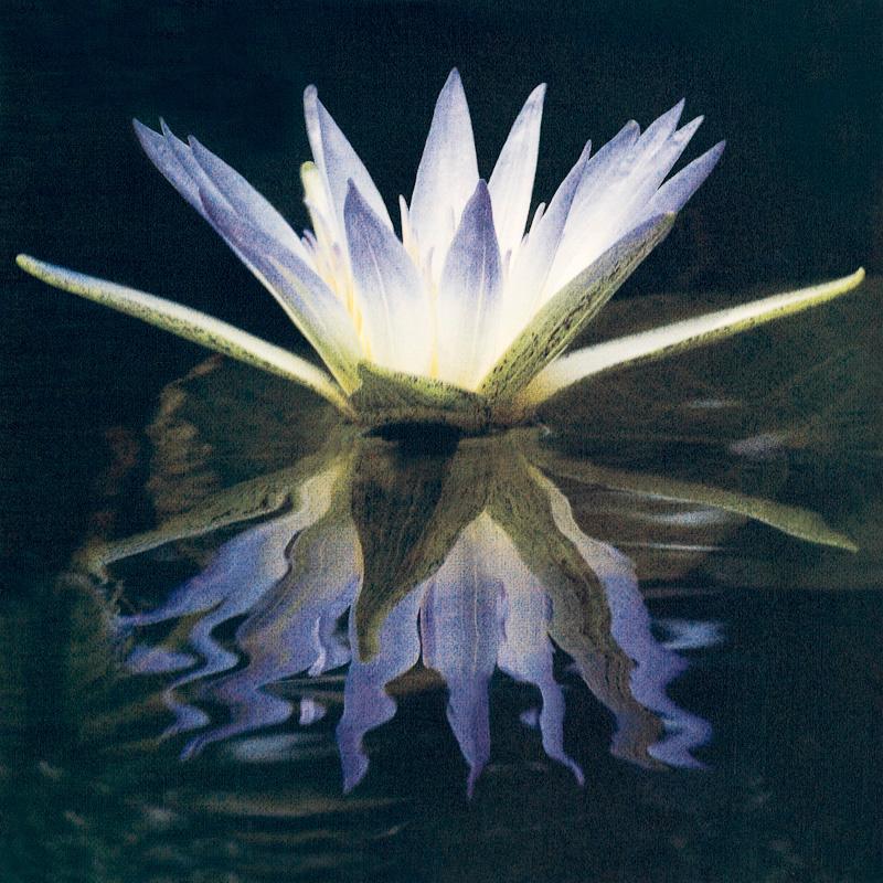 Blue Lotus of the Nile.jpg