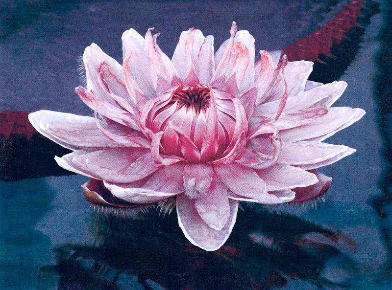 Queen Victoria Lily.jpg