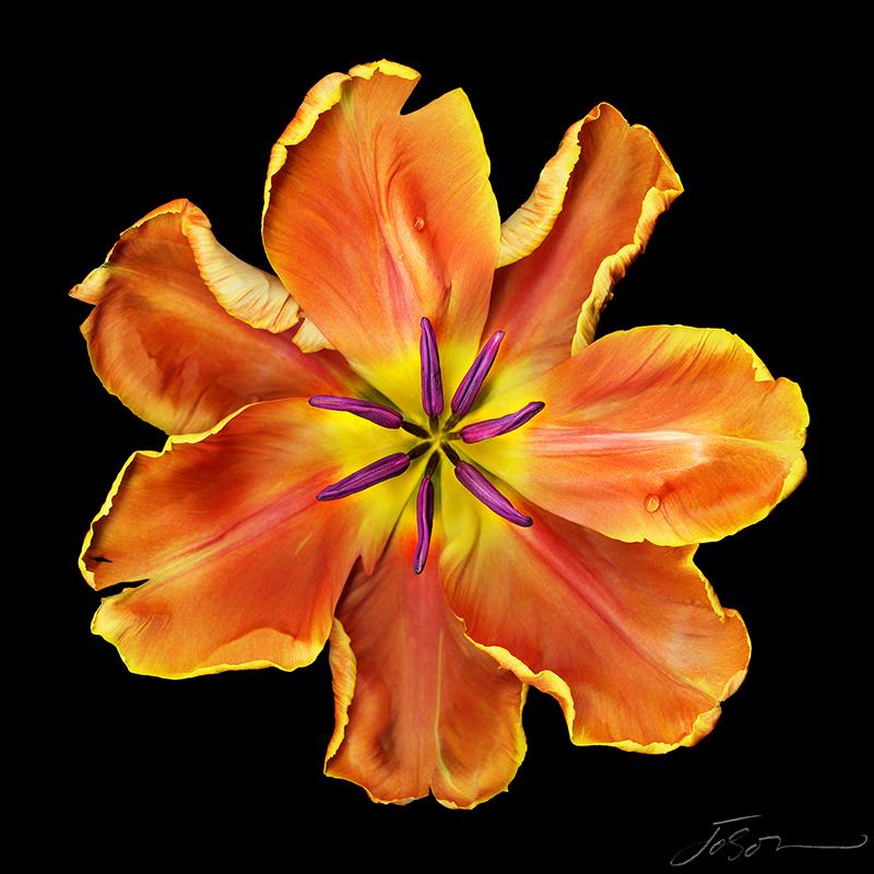 joSon Fotanical - Apricot Parrot Tulip.jpg