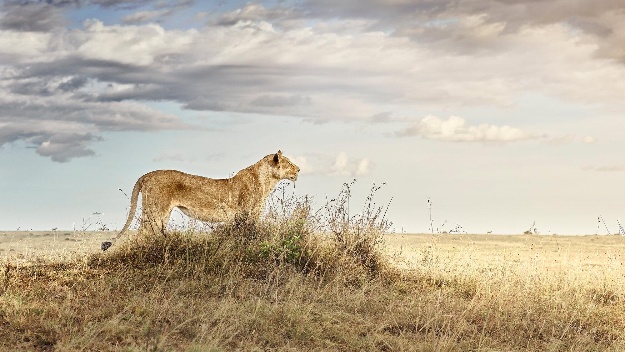 Lioness in Repose, Maasai Mara, Kenya 2019.jpg