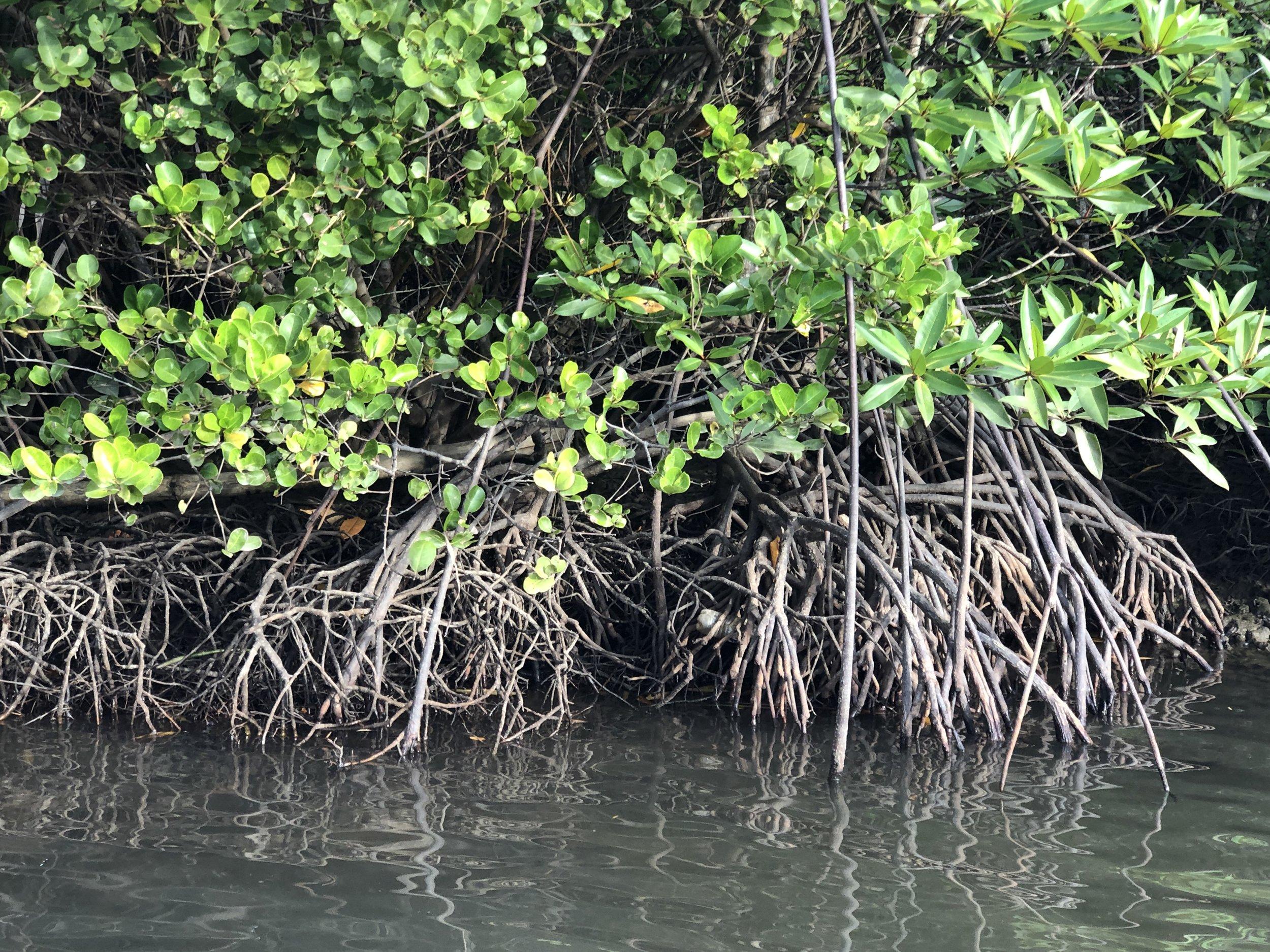 Mangrove by the side of River Nanamun