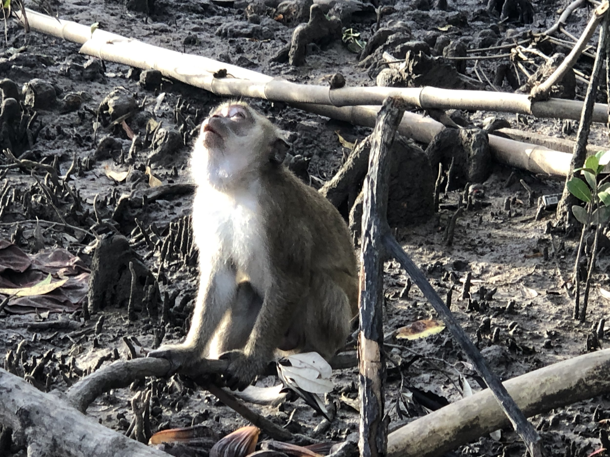 You may be lucky and see a long-tailed macaque