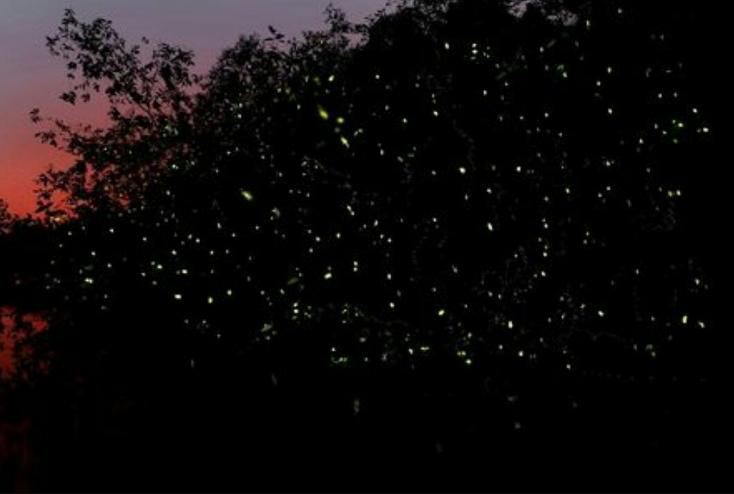 The fireflies make the trees look like 'Christmas trees'