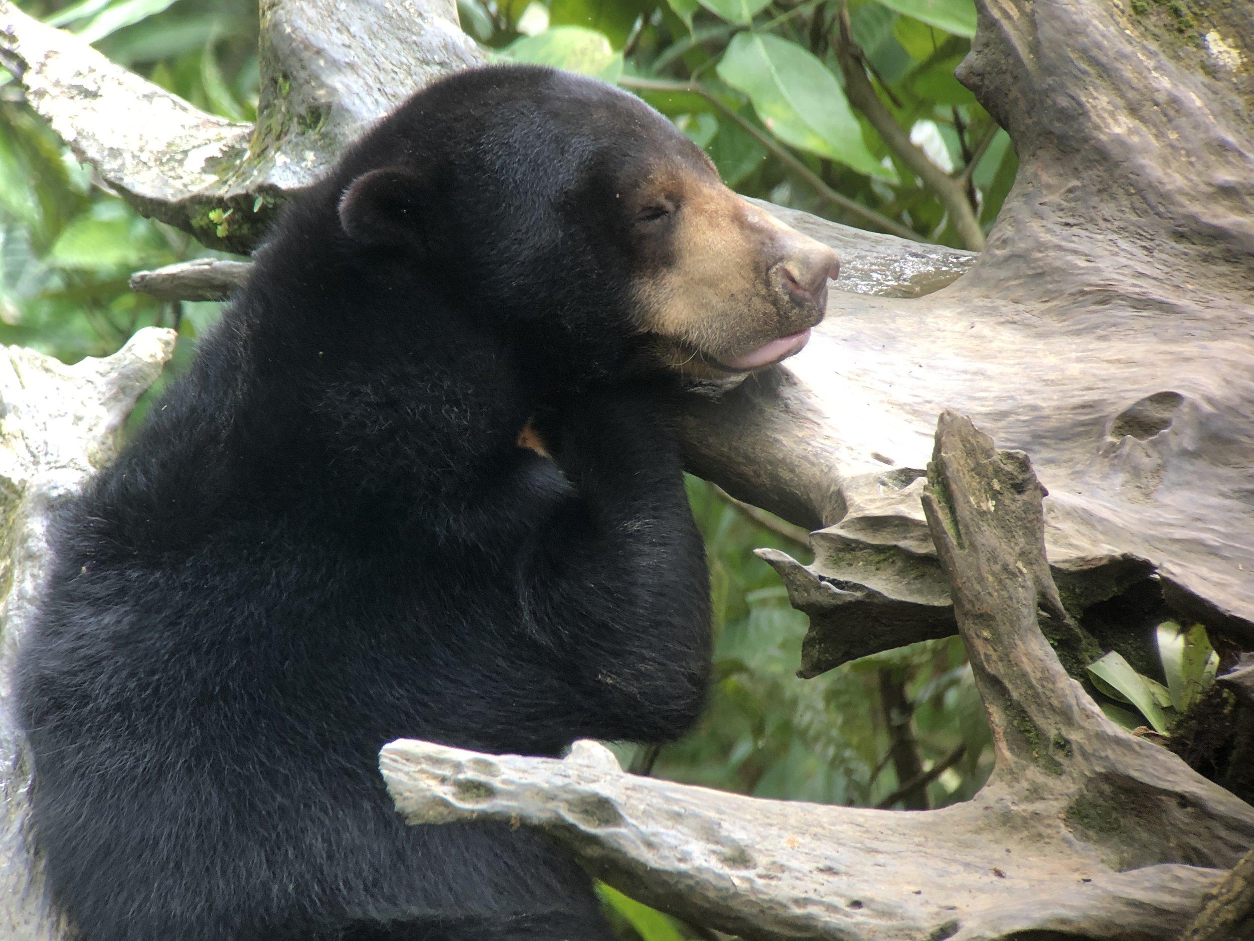 Also at Sepilok: the sun-bear (world's smallest bear)