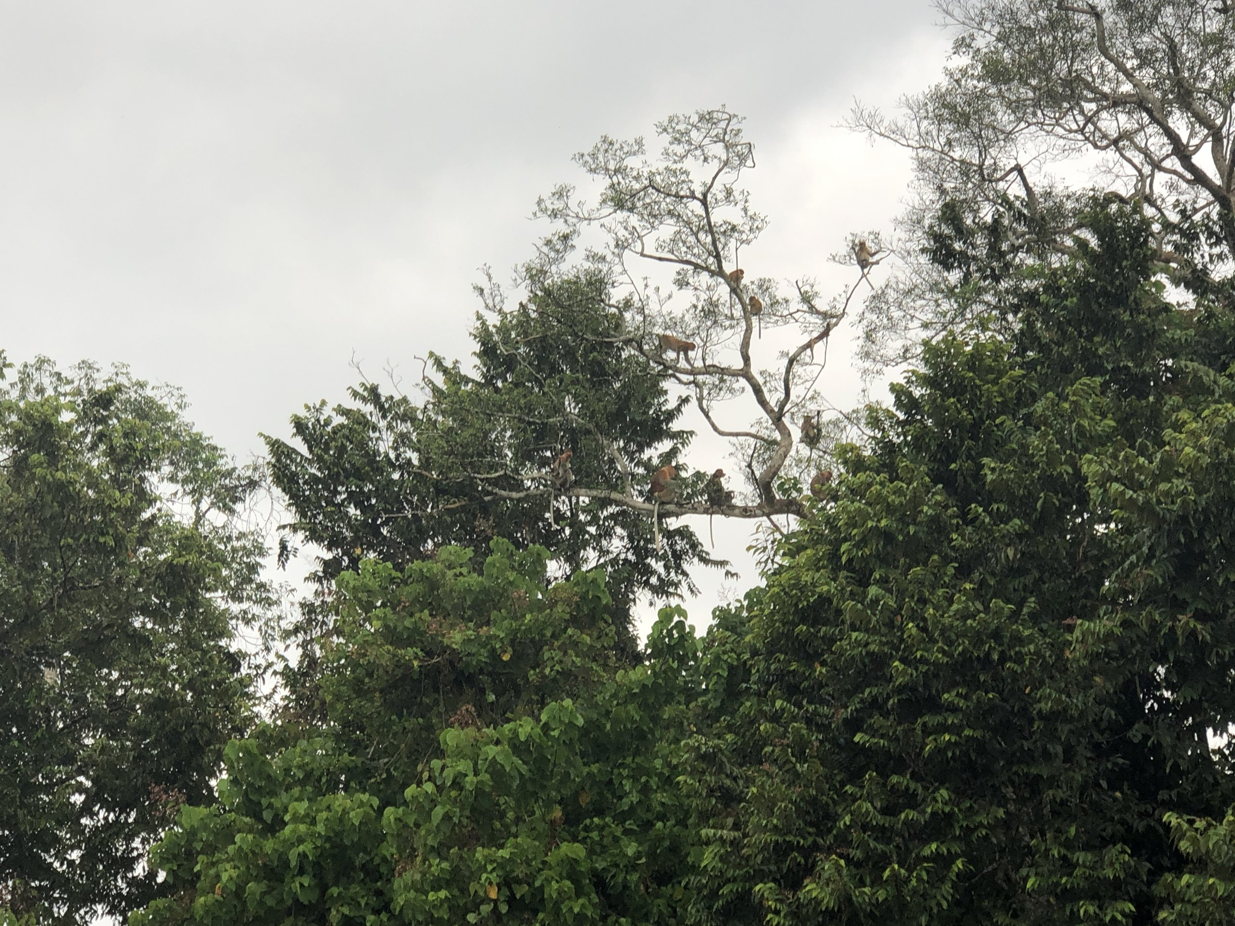 A family of proboscis monkeys in trees by the banks of the River Kinabatangan