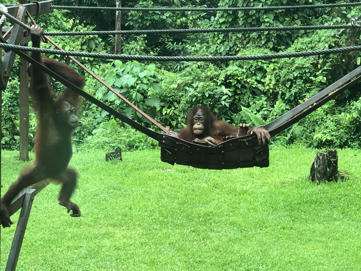 The nursery at Sepilok provides orphaned orangutans the opportunity to acquire 'life-skills' such as climbing
