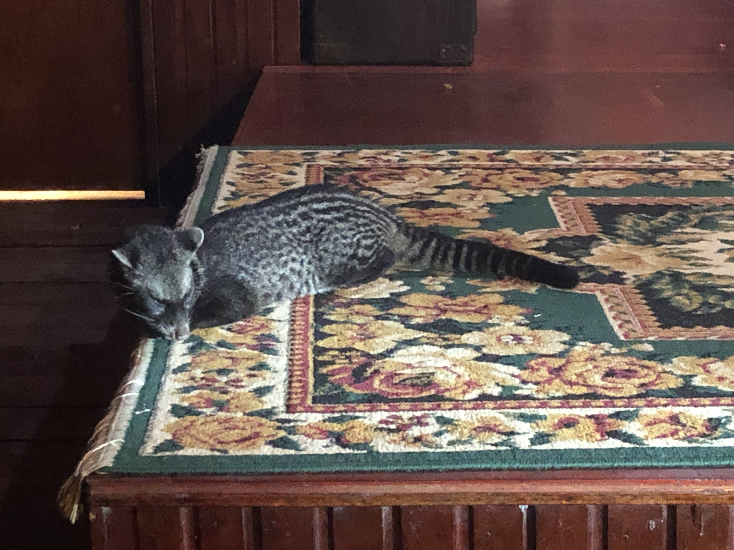 This semi-tame civet making itself at home in Bilit Lodge - it's not a cat and actually closely related to the mongoose