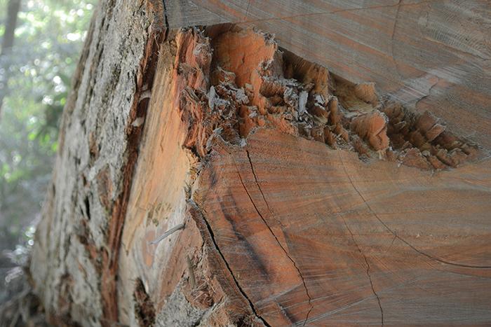 redwood-stump.png