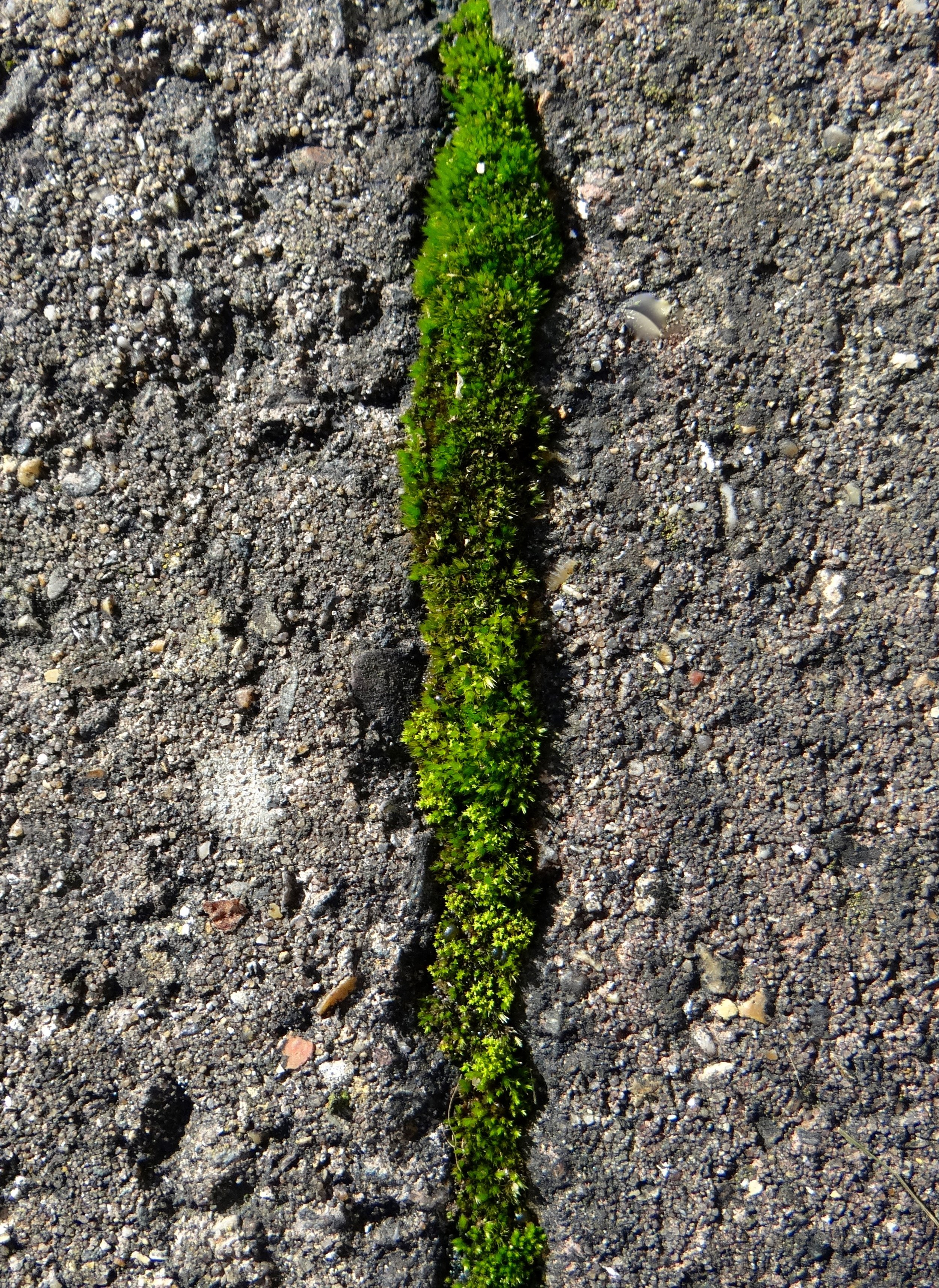 Line of moss in wall