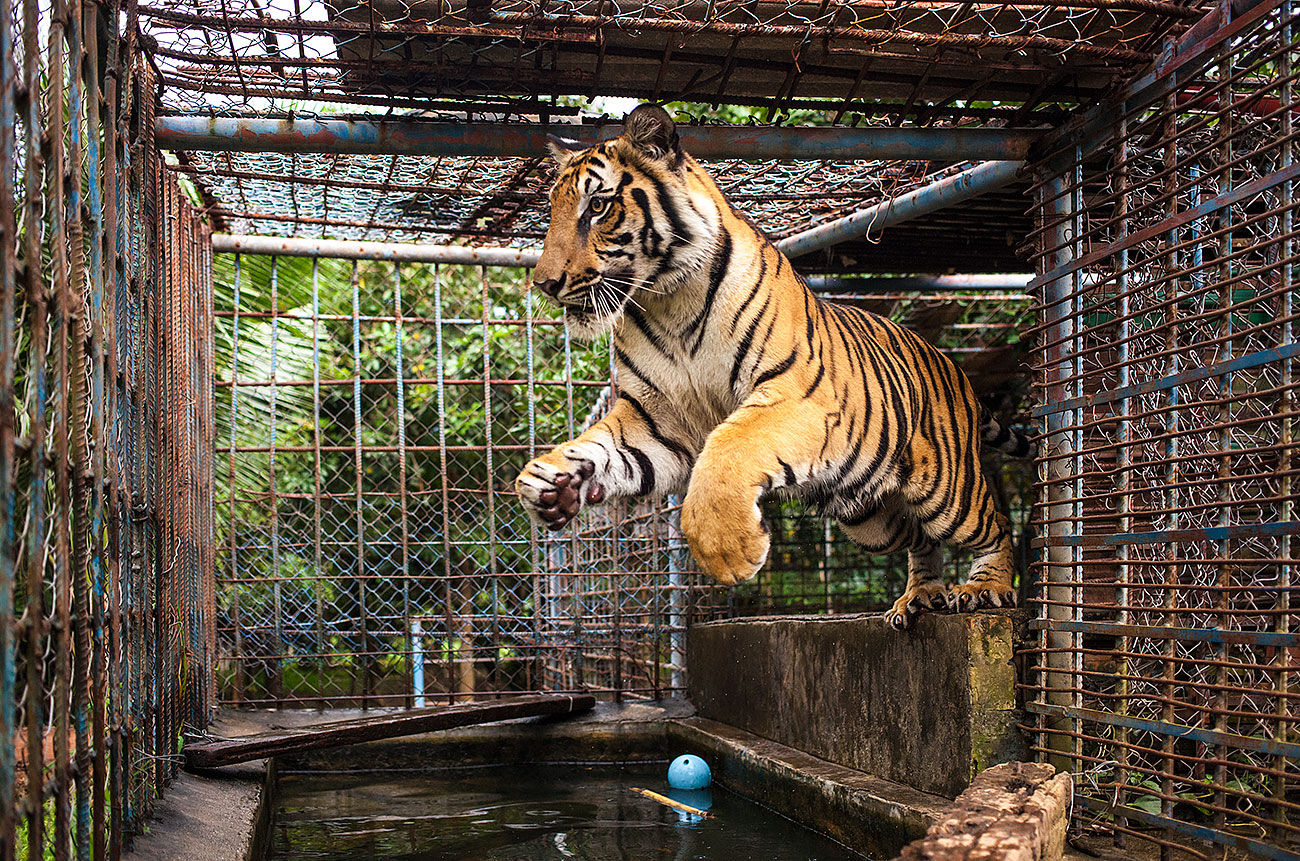 Meanchey the young male Bengal tiger