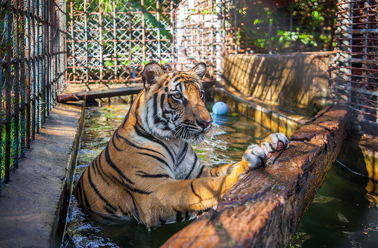 Meanchey the teenage Bengal tiger
