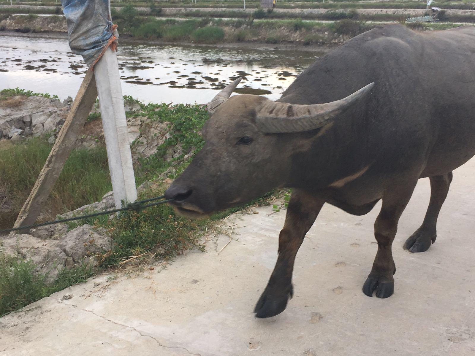 Water Buffalo, Hoi AN
