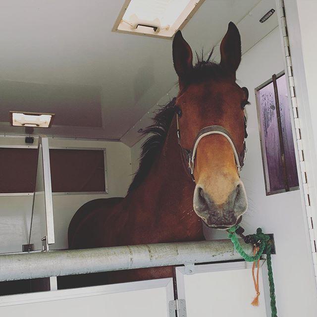 A beautiful gelding transported on the weekend. #horsetransport #irishsportshorse #northwales #cheshire