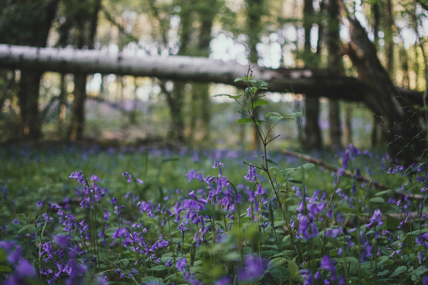 A carpet of bluebells in a woods with a fallen tree