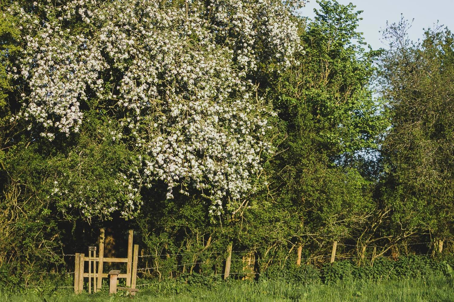 Apple tree in blossom over a style in the Hampshire countryside