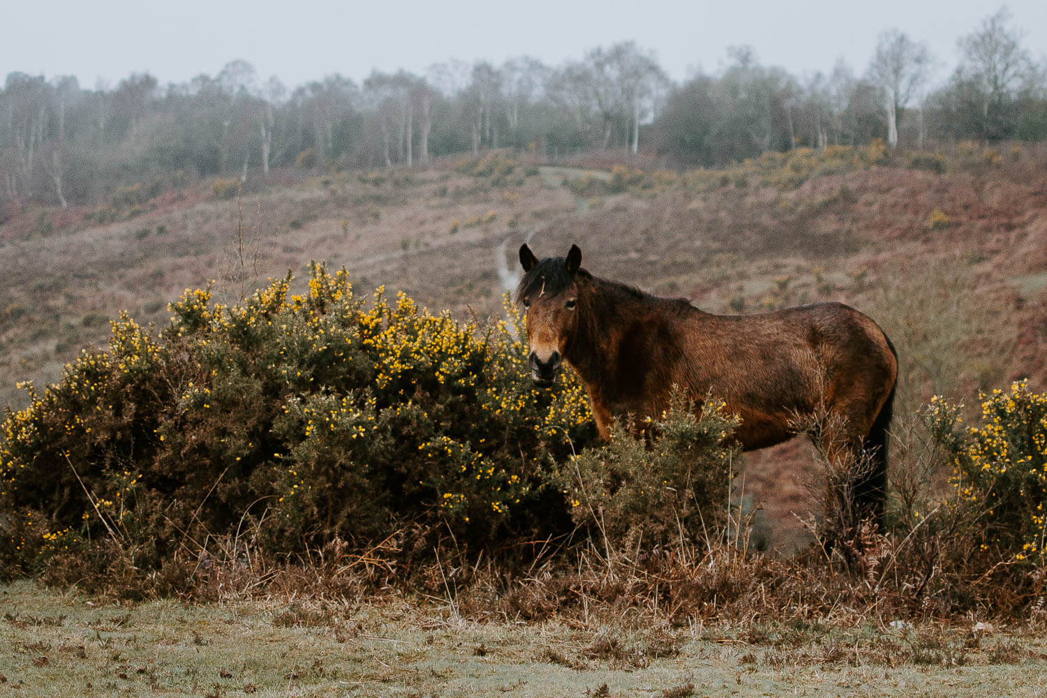 Spring in Hampshire, New Forest pony eating gorse
