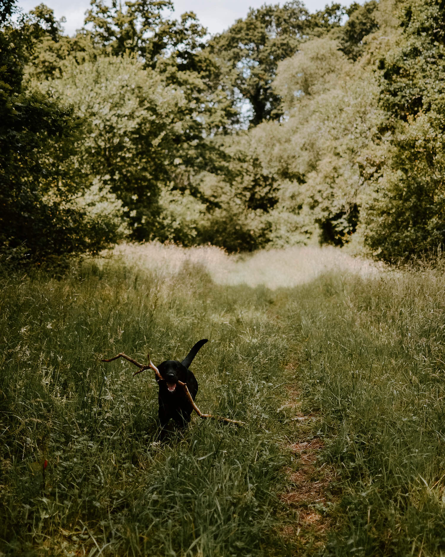 Black Labrador in a summer meadow | Josephine Brooks